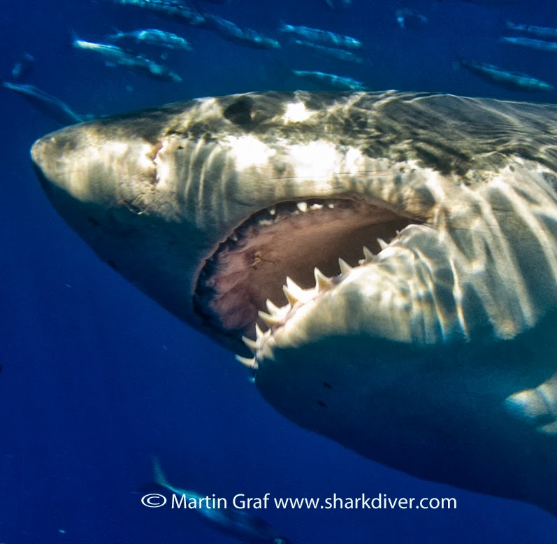 Shark Diver : Shark Diving : Swimming With Sharks: Deadly ...