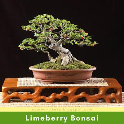 Limeberry Bonsai