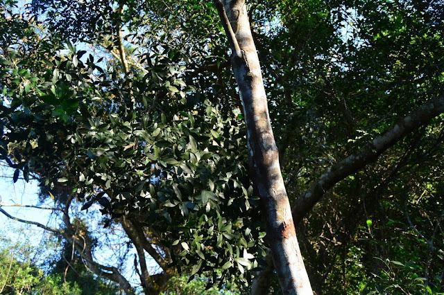 Robsonodendron eucleiforme
