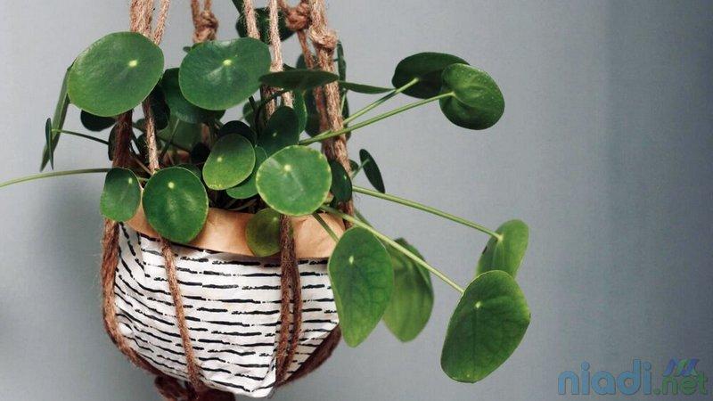 harga dan jenis tanaman hias pilea chinese money plant