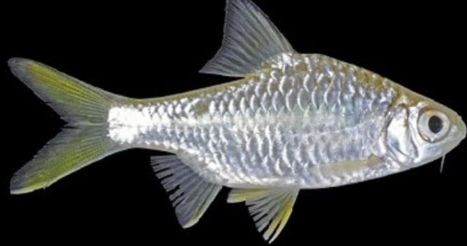 ikan wader