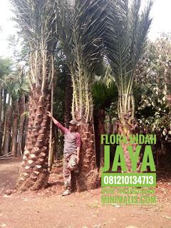 jual pohon kurma tropis murah