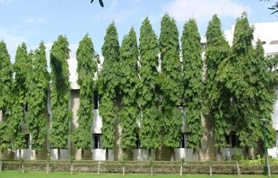 Harga Pohon Glogok Tiang Tinggi 1, 2 Meter dan 3 Meter