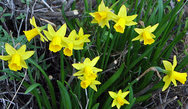 Mini Daffodils in Full Bloom
