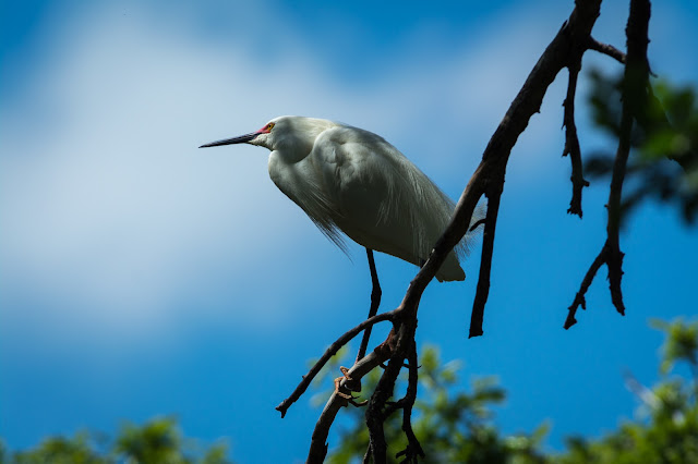 Snowy Egret, UT Southwestern Rookery