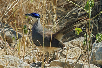 Coua olivaceiceps