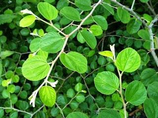 Some benefits of Bidara leaves