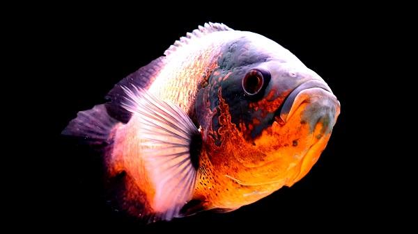 Best Large Freshwater Fish - Oscar