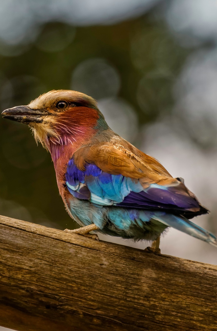 A colorful lilac breasted roller.
