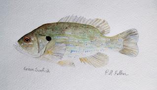 Green Sunfish, Pat Kellner, P. H. Kellner, Fishing Art, Fly Fishing Art, Texas Freshwater Fly Fishing, TFFF, Fly Fishing Texas, Texas Fly Fishing