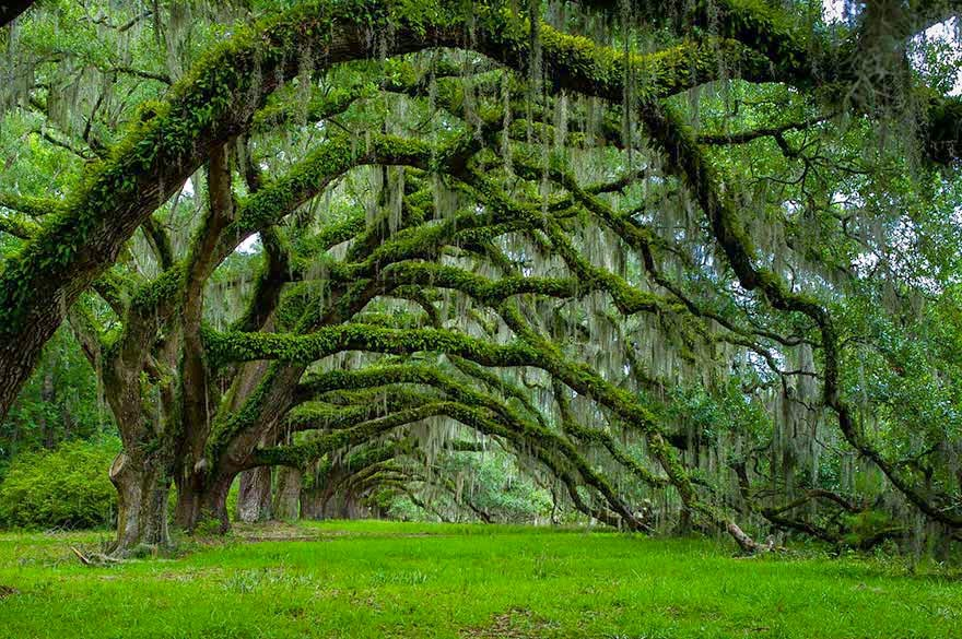 #14. Avenue of Oaks in Mount Pleasant, South Carolina - 16 Of The Most Magnificent Trees In The World.
