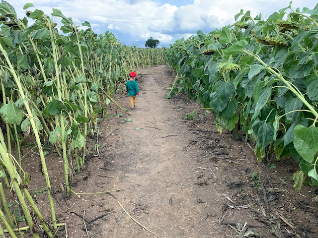 Little boy from the back walking through sunflower field