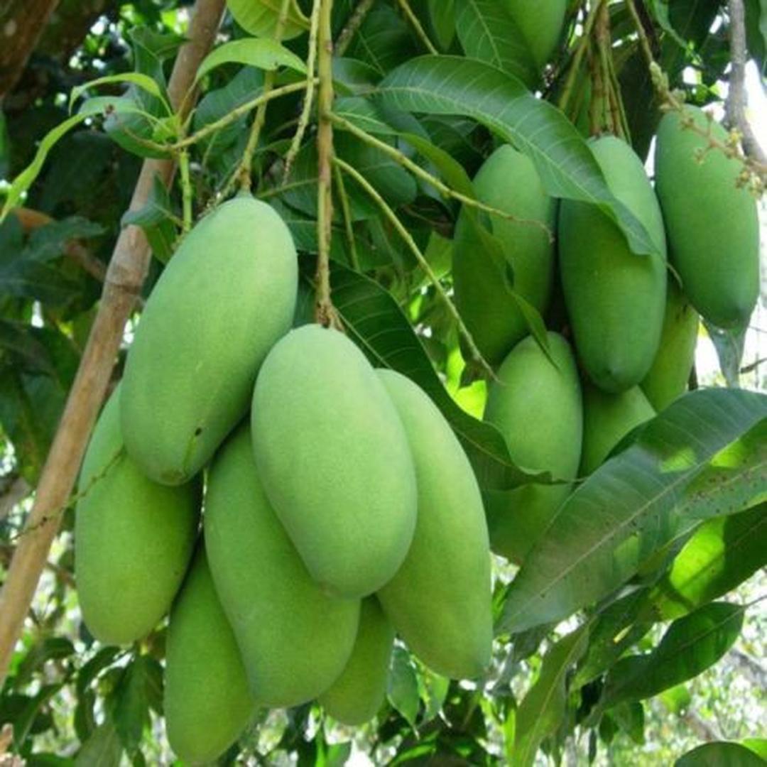 Pasti Puas! BIBIT MANGGA COKANAN BIBIT TANAMAN BUAH UNGGUL MURAH BERGARANSI Kota Bogor #bibit buah