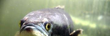 Klasifikasi Ikan Gabus dan Morfologi Ikan Gabus (Channa Striata)