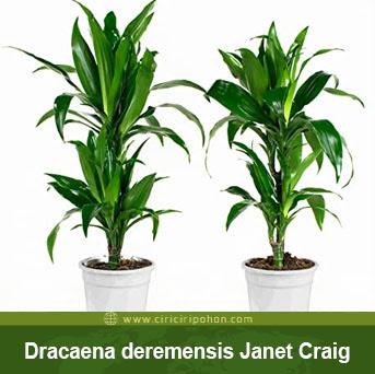 ciri ciri pohon Dracaena Deremensis Craig