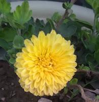 guldaudi (chrysanthemum)flower