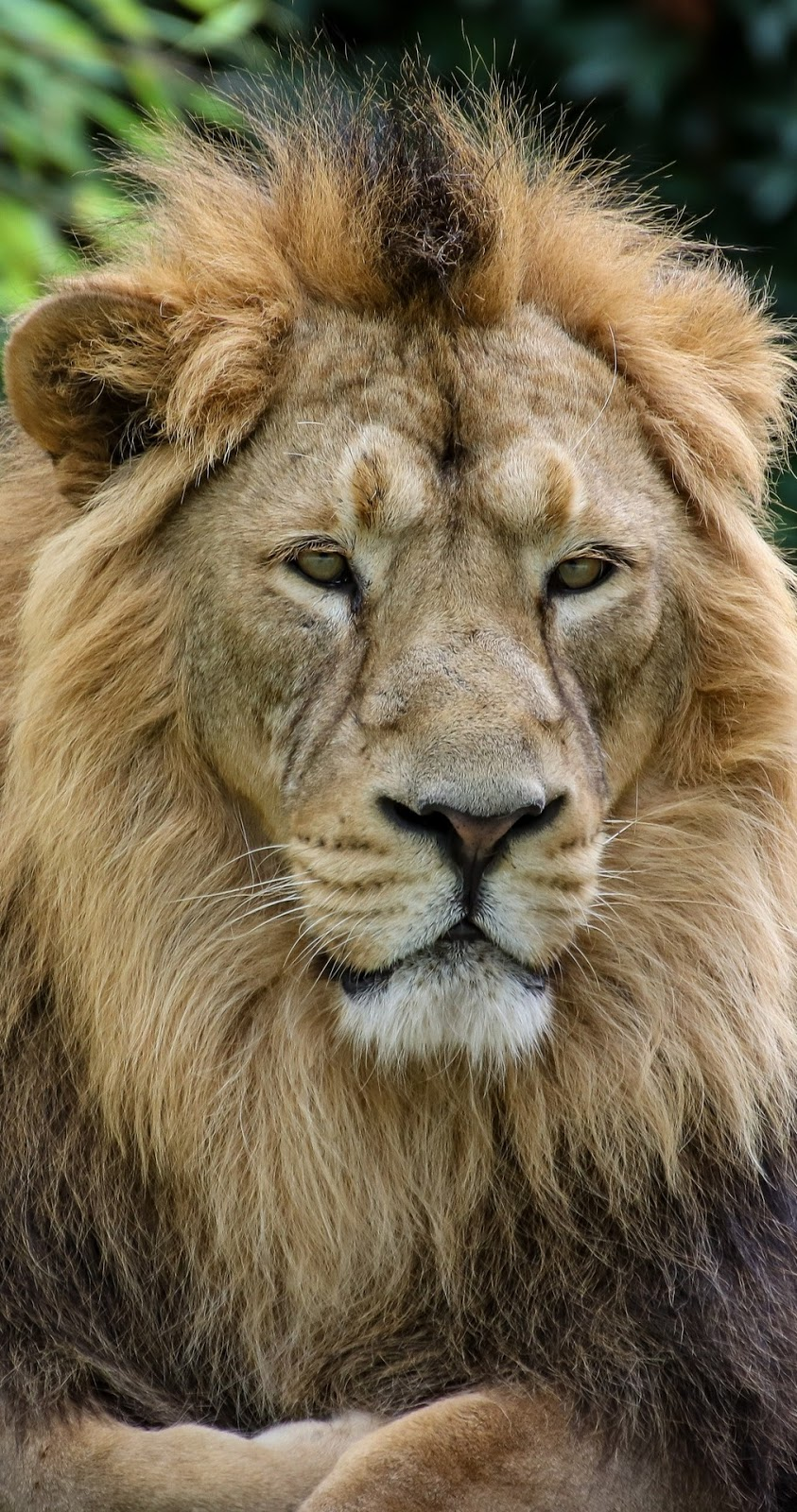 Majestic lion.