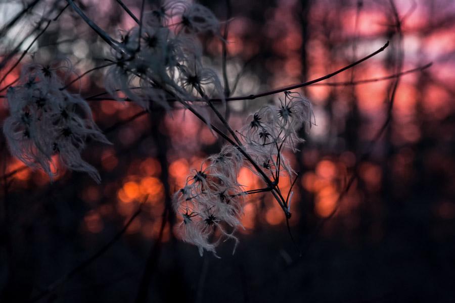 Clematissamenstände im Abendlicht
