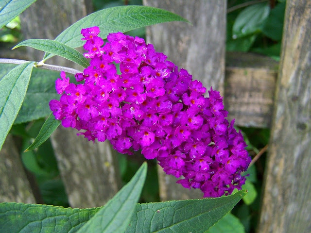 Árbol de las mariposas (Buddleja davidii)