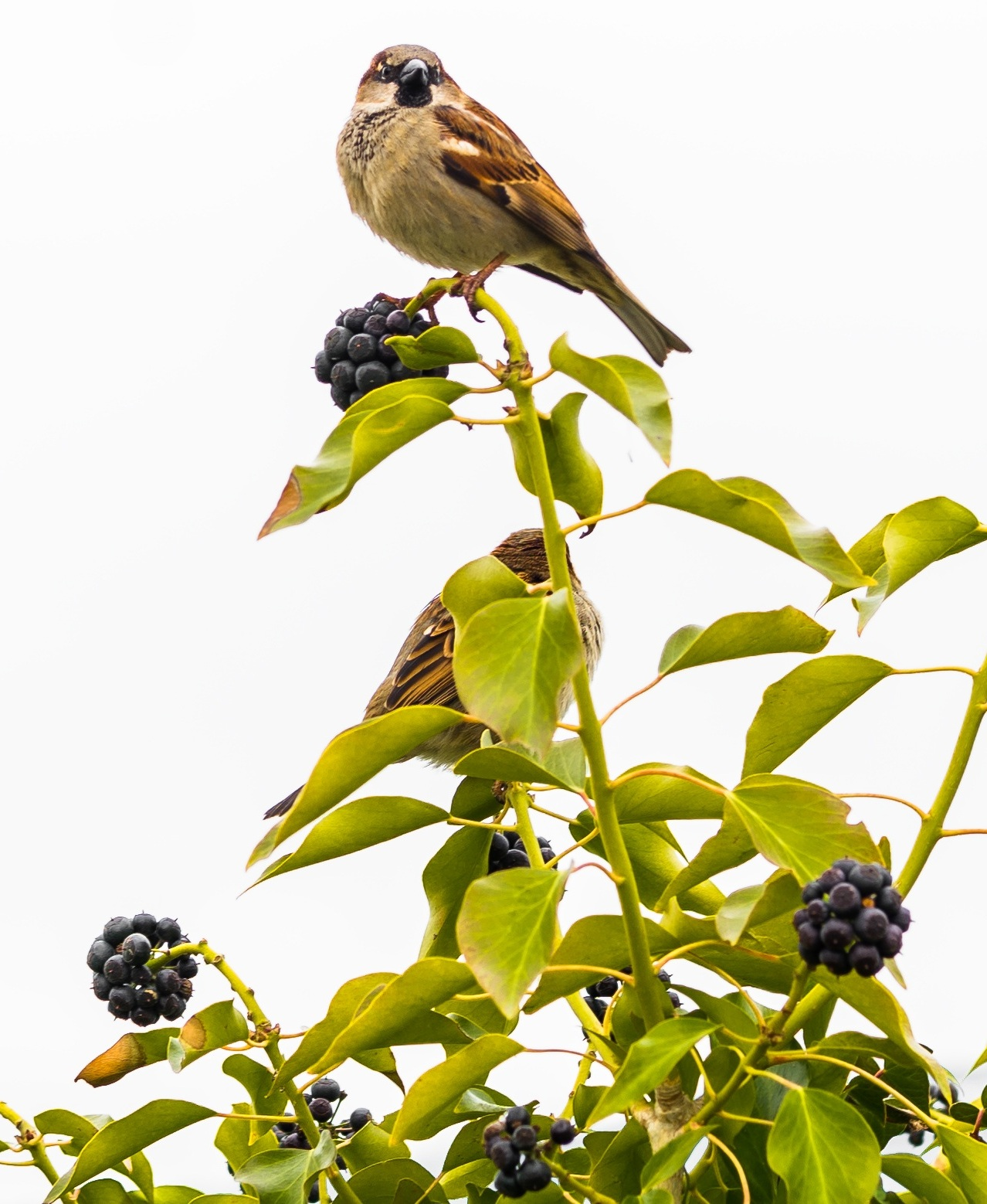 Picture of sparrows on a berry tree.