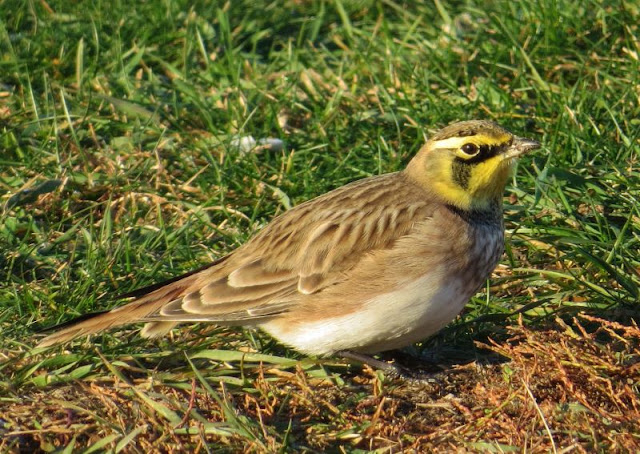 The Horned Larks Are Back In Town