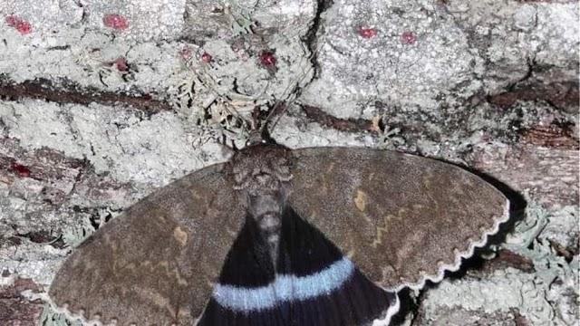 Πεταλούδα σε μέγεθος πουλιού στο Τσερνόμπιλ