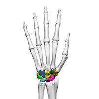 Carpal (tulang pergelangan tangan)