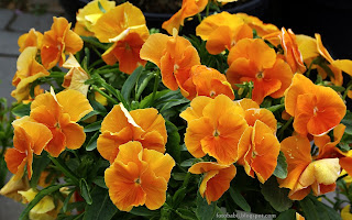 http://fotobabij.blogspot.com/2015/03/fioek-rogaty-rocky-f1-orange-viola.html