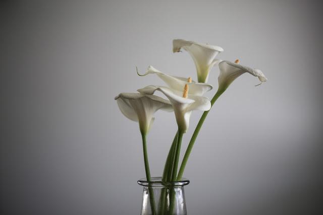 White  Calla-Lilly in pot