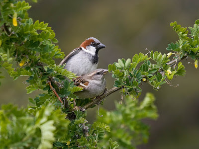 Photo of House Sparrows copulating in a bush