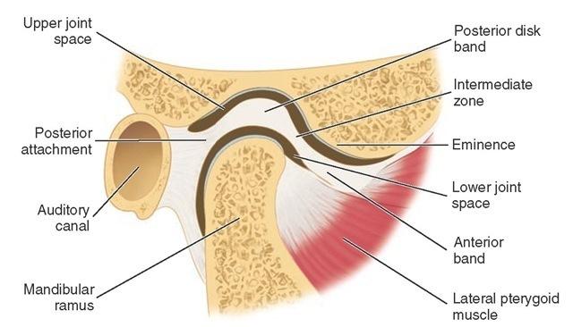 Dentistry And Medicine Anatomy Of Temporomandibular Joint Tmj