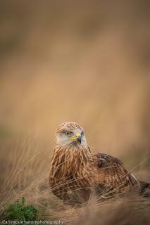 Red Kite, Milvus milvus, Autumn in Sufolk, brown , red