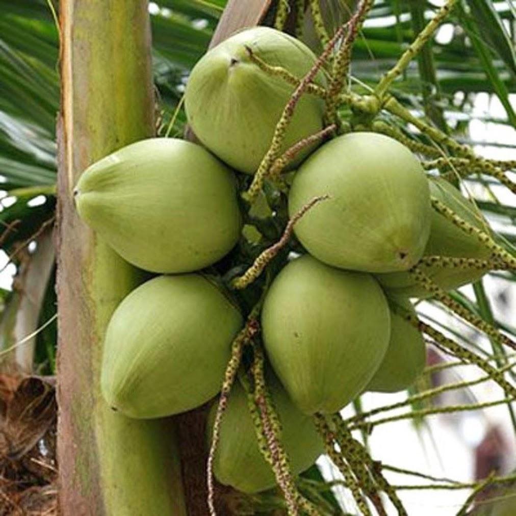 Bibit kelapa pandan wangi asli 1000 Kepulauan Riau