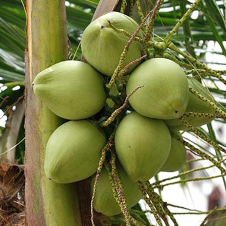 Bibit kelapa pandan wangi asli 1000 Nusa Tenggara Barat