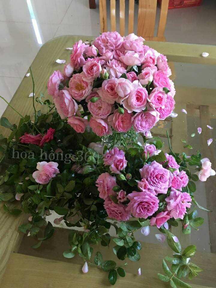 Hoa hồng leo mon coeur vẻ đẹp như nàng ưn sơ - blog chia ...
