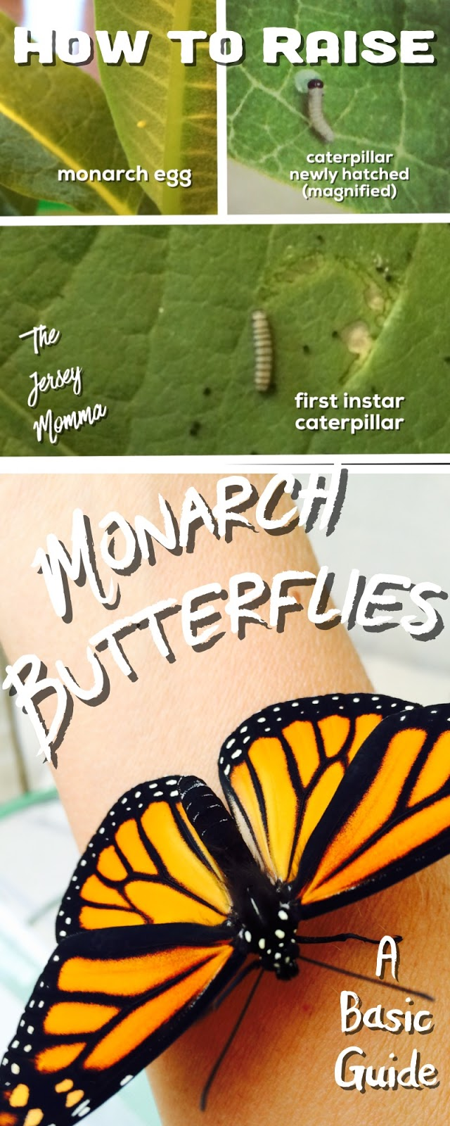 the jersey momma how to raise monarch butterflies a basic guide