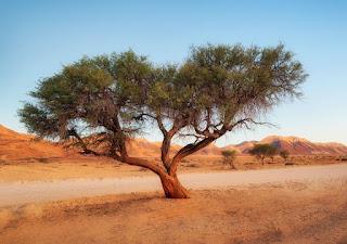 pregação acácia deserto