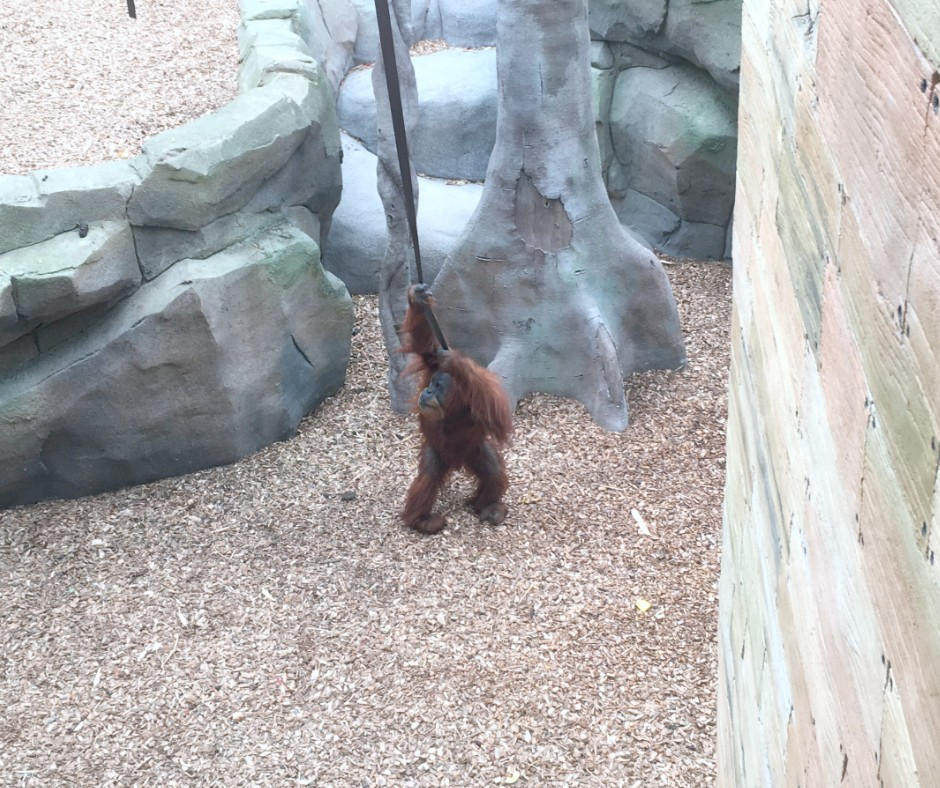 An orang-utan plays on a rope in its enclosure in Chester Zoo