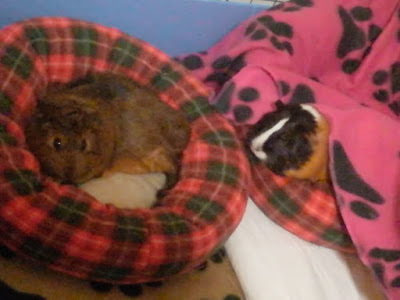 Guinea pigs on cushions