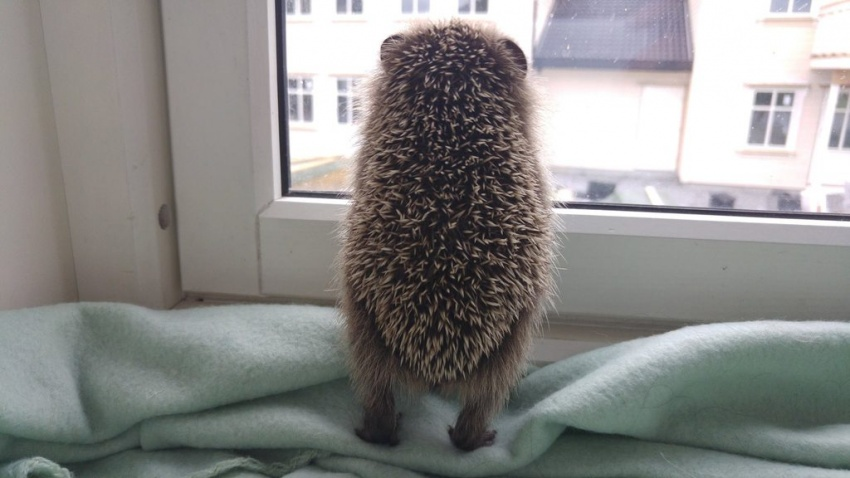 the hedgehog at the window