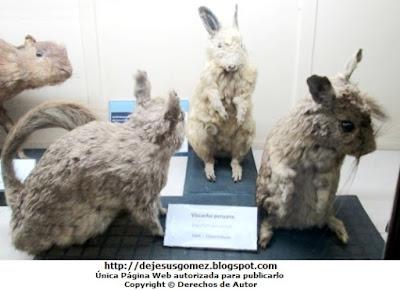 Foto de Vizcachas peruanas disecadas (Museo de Historia Natural). Foto de la vizcacha de Jesus Gómez