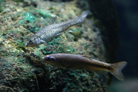 Really. And asian topmouth gudgeon like tell