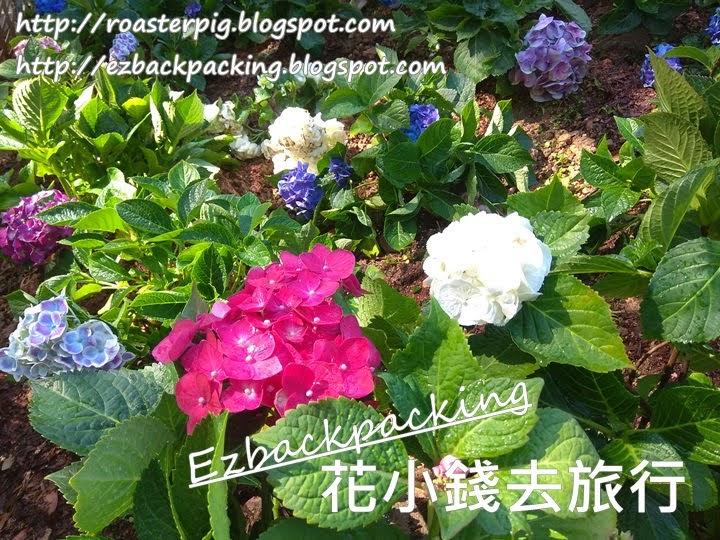 2021年香港繡球花花海