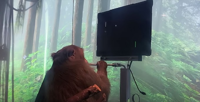 A monkey playing with Elon musk's neural link brain implant without using his hands