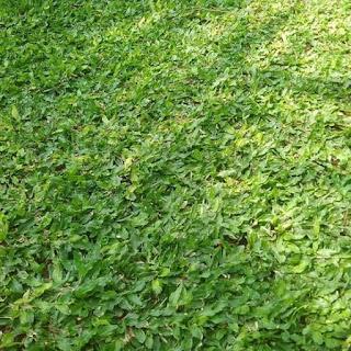 Jual Rumput Gajah Mini Murah | Tukang Rumput Gajah Mini | Jasa Pasang Tanam Rumput Gajah Mini