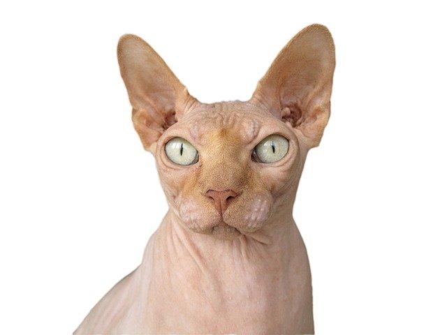 القطط الفرعونية Sphynx