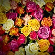 Multi Roses