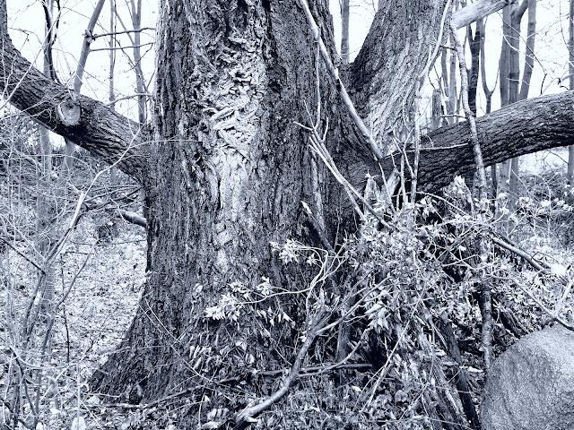 Alter Baum bei Leopoldshöhe