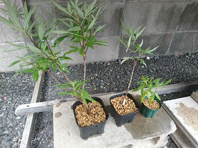 セイヨウニンジンボク 鉢植え