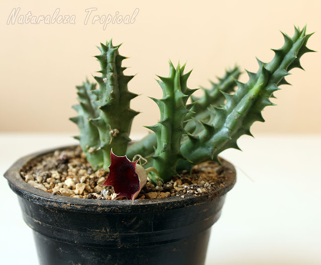 Representante del género Huernia, planta ideal para la multiplicación por esquejes de tallos